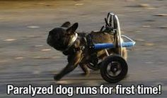 Paralysed pug runs for first time