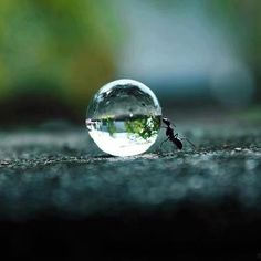 An ant pushing a droplet of water.