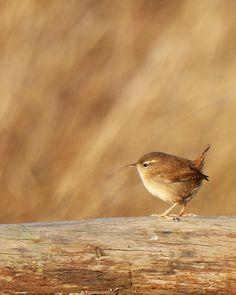 Little Jenny Wren / Clickasnap Tiny Bird, Small Birds, Little Birds, Love Birds, Beautiful Birds, Pet Birds, Vogel Silhouette, Vogel Illustration, Troglodytes