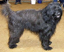 The Catalan sheepdog (Catalan: Gos d'atura català) is a breed of Catalan pyrenean dog used as a sheepdog. This dog is bred in Europe, especially in Spain, Finland, Germany, and Sweden.