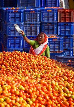 collection point for tomatoes harvest near Nasik, Maharashtra State, India ~ this is headed for state capital, Mumbai