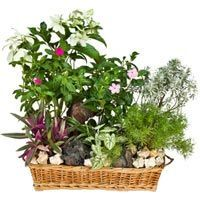 Evergreen Orchard - A Cluster of Flower Plants with stone and shells in a basket.