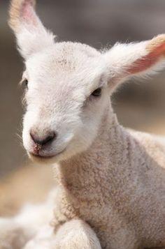 Country lamb