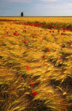beautifu, rusticl poppy field in The Netherlands