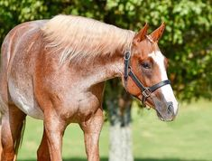 American Quarter Horse, Pretty Horses, Animals, Beautiful Horses, Animales, Animaux, Animal Memes, Animal, Pretty Words