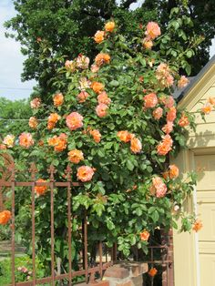 Climbing Westerland roses on back arch.Brought to you by Cookies In Bloom and Hannah's Caramel Apples   www.cookiesinbloom.com   www.hannahscaramelapples.com
