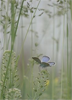 blue-grey butterfly in a meadow. Tier Fotos, Beautiful Butterflies, Belle Photo, Beautiful Creatures, Magical Creatures, Beautiful World, Mother Nature, Mists, Beautiful Pictures