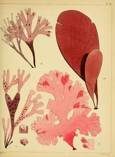 a popular history of british sea-weeds. 1851