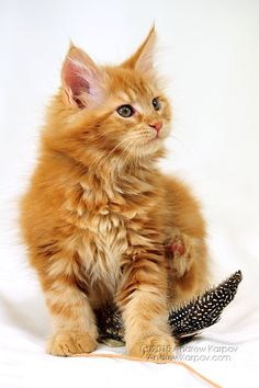 . http://www.mainecoonguide.com/