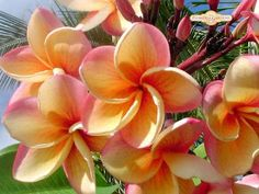 rainbow plumeria goes from yellow to pink