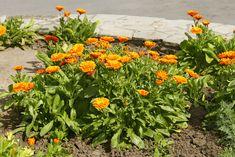 Vypěstujete si doma měsíček lékařský – užitečnou léčivku - Magazinzahrada.cz Herb Garden, Home And Garden, Samos, Herbs, Health, Flowers, Plants, Room Decor, Gardening