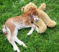 A pony and his teddy bear... it's a beautiful thing. (Shetland pony named Joey was rescued from the floods in Victoria, Australia.)....so sweet<3