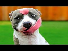 [video] Pit Bulls Are Amazing...and FUNNY!! - http://www.pawsforpeeps.com/video-pit-bulls-are-amazing-and-funny/