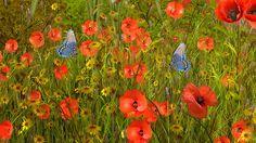 Poppy Sensations wallpaper free