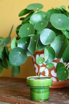De pannenkoekenplant? 10 x inspiratie + verzorgingstips