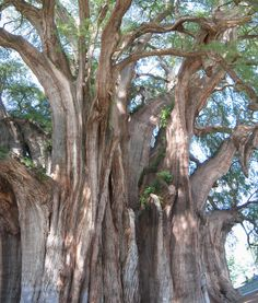 Tule Tree (Arbol del Tule) -  Mexico's most famous tree  grows near Oaxaca City. It has a girth of 164 feet in circumference.