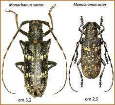 Monochamus sutor, un Coleottero che minaccia i nostri boschi