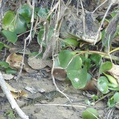mamãe jacaré com seus trocentos bebês. #jacare #alligator #sescmt #pantanal #photooftheday #instamood #instadaily - @rrjesus- #webstagram