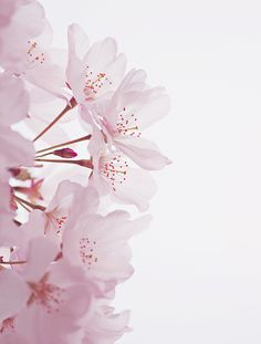 ✧ ☼ pinterest : kiafornia flowers sakura flower of emotion Cute Wallpaper Backgrounds, Pretty Wallpapers, Flower Wallpaper, Iphone Wallpaper, Notebook Rosa, Flame In The Mist, Sakura Cherry Blossom, Cherry Blossoms, Cherry Flower