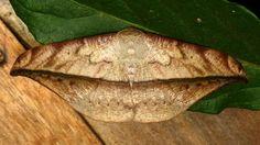 Geometer moth, Oxydia sp., Geometridae