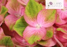 Beautiful Hydrangea Close-up | Holland Hydrangea | Like us on Facebook http://www.facebook.com/HollandHydrangea or visit our website www.holland-hydrangea.com to stay up-to-date about our amazing products!