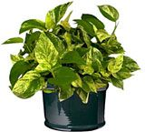 Epipremnum aureum, Devils Ivy, or Golden Pathos, is an excellent air cleansing plant. Should be watered only when the soil feels dry. No direct sunlight.