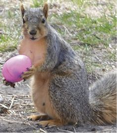 j Sharon Frerichs squireel joins Easter Egg Hunt.psd