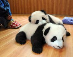 Pandas: too cute for words. I could die happily if I got the chance to cuddle with a baby panda! Baby Animals Pictures, Cute Baby Animals, Funny Animals, Baby Pandas, Giant Pandas, Animal Babies, Animals Images, Wild Animals, Baby Pictures