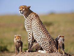 Det er ikke uten grunn at Kenya er en av de mest populære safaridestinasjoner i verden.  Landet byr på et sjarmerende miks av natur og dyreliv, kultur og bounty-strender. Kort sagt har Kenya opplevelser for alle! Mombasa, Nairobi, Kenya, Cheetah, Giraffe, Safari, Museum, Animals, Africa