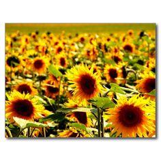 Sonnenblumenfeld Postkarten 35% auf Grußkarten & Einladungen - Entdecke unser großartiges Sortiment an Weihnachtskarten!  Gutscheincode: SHOPXMASCARD