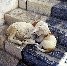 lamb and dog