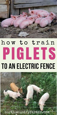 It's easy to train piglets to stay in an electric fence on your homestead.