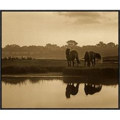 Global Gallery Wild Horse Pair Grazing at Assateague Island National Seashore, Maryland by Tim Fitzharris Framed Photographic Print on Canvas Size:...