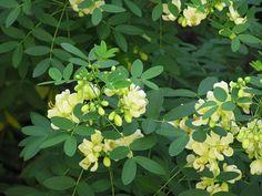 おすすめの植物|低木 2 Backyard Landscaping, Herbs, Landscape, Flowers, Plants, Gardening, Backyard Landscape Design, Scenery, Lawn And Garden