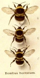 ≗ The Bee's Reverie ≗  Bombus hortorum | Unknown Artist | found on under-the-influence on tumblr