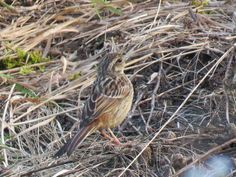 It looks like a  very young meadow bunting. 7 july 2016.