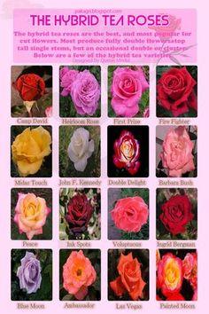 Best hybrid tea rose varieties.
