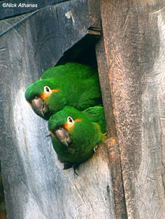 Golden-plumed Parakeet - Leptosittaca branickii