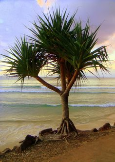 Noosa Beach, Sunshine Coast, Australia AND I want this tree thing!
