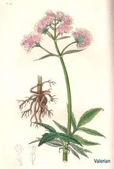 "Valerian. From Ed Smith's personal library: Stephenson & Churchill, ""Medical Botany"": 1834-1836."