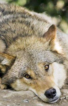 stop killing wolves 🐺 loup
