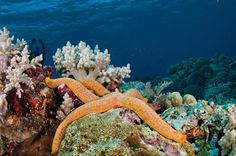 Sea Star On Tubbataha Reef