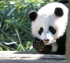 """Panda """"Po"""" at Zoo Atlanta, GA."""