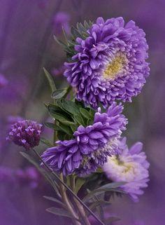 ✿Colour Of Flower✿ lavender-dahlia