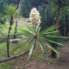 Unique plants of Brazil,,,,, looks like a yucca tree to me. Lol