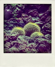 polaroid (desert cactus)    palm springs, california