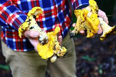 Chantrelle mushrooms can be found right here in the Vail Valley in White River National Forest!