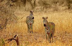 Cebras, P.N. Tarangire -   Zebras, N.P. Tarangire (August 2005)    www.vicentemendez.com