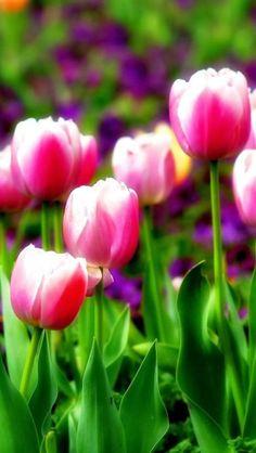 Tulips Blooming Flower