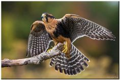 Cornell Lab of Ornithology ...   Conrad Tan posted this beautiful photo of an Aplomado Falcon.